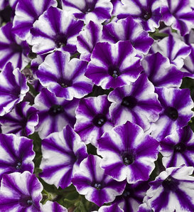 Supertunia® Mini Vista™ Violet Star - Petunia hybrid