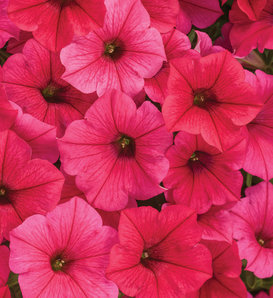 Supertunia Vista® Paradise - Petunia hybrid