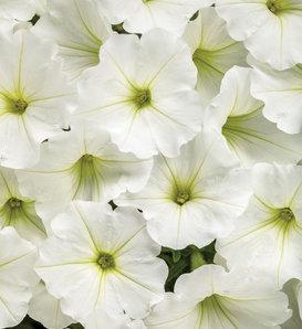 Supertunia Vista® Snowdrift™ - Petunia hybrid