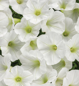 Supertunia Mini Vista® White - Petunia hybrid
