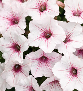 Supertunia Vista® Silverberry - Petunia hybrid