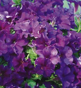 Surfinia® Purple Majesty - Petunia hybrid
