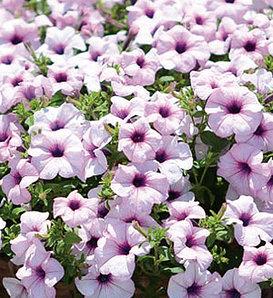Surfinia® Sumo Glacial Pink - Petunia hybrid