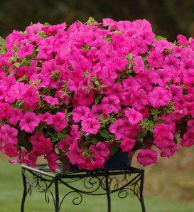 Surfinia® Sumo Pink - Petunia hybrid