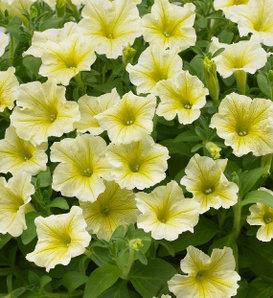 Surfinia® Yellow - Petunia hybrid