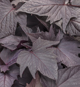 Proven Accents® Sweet Caroline Bewitched After Midnight™ - Sweet Potato Vine - Ipomoea batatas