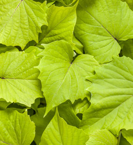 Proven Accents® Sweet Caroline Bewitched Green with Envy™ - Sweet Potato Vine - Ipomoea batatas