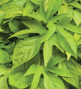 Proven Accents® Sweet Caroline Kiwi™ - Ornamental Sweet Potato Vine - Ipomoea batatas