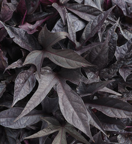 Proven Accents® Sweet Caroline Raven™ - Ornamental Sweet Potato Vine - Ipomoea batatas