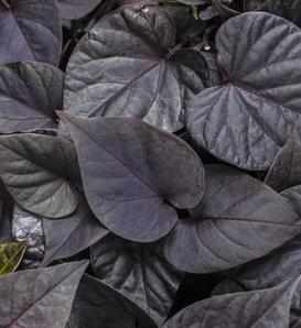 Proven Accents® Sweet Caroline Sweetheart Jet Black™ - Sweet Potato Vine - Ipomoea batatas