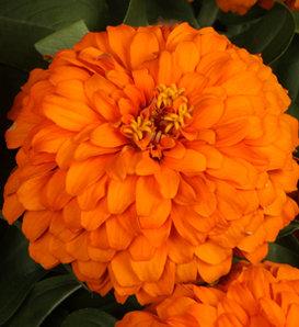 Sweet Tooth Orange Slice - Zinnia