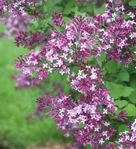 Bloomerang® Dark Purple - Reblooming Lilac - Syringa x