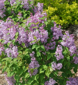 Scentara Pura® - Lilac - Syringa x hyacinthiflora