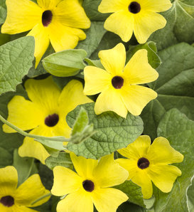 Lemon A-Peel® - Black-Eyed Susan Vine - Thunbergia alata