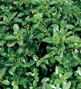 Lemon Thyme - Thymus citriodorus
