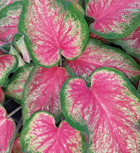 Heart to Heart™ Tickle Me Pink - Strap Leaf Caladium - Caladium hortulanum