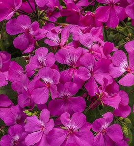 Timeless™ Lavender - Geranium - Pelargonium hybrid