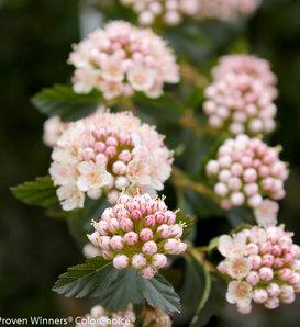 Tiny Wine® - Ninebark - Physocarpus opulifolius