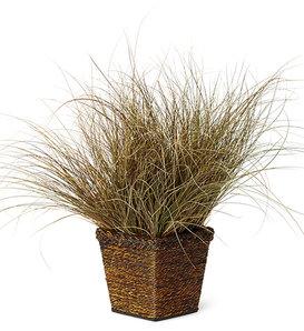 Graceful Grasses® Toffee Twist - Toffee Twist Sedge - Carex flagellifera