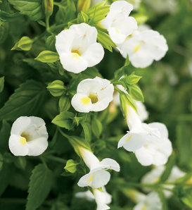 Catalina® White Linen - Wishbone Flower - Torenia hybrid