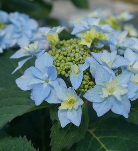 Tuff Stuff Ah-Ha® - Reblooming Mountain Hydrangea - Hydrangea serrata