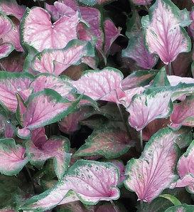 Heart to Heart™ Va Va Violet™ - Strap Leaf Caladium - Caladium hortulanum
