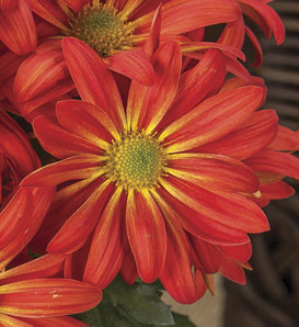 Milton™ Bronze Bicolor Mum - Pot Mum - Chrysanthemum grandiflorum
