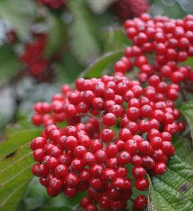 Cardinal Candy® - Viburnum dilatatum