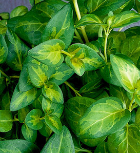 Proven Accents® Maculata - Vinca Vine - Vinca major