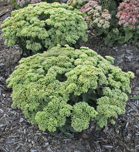 Rock 'N Grow® 'Lemonjade' - Autumn Stonecrop - Sedum hybrid