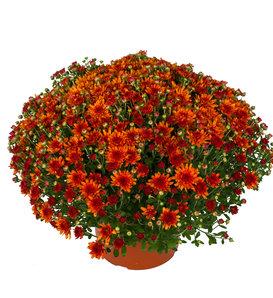Wanda Bronze Garden Mum - Chrysanthemum grandiflorum