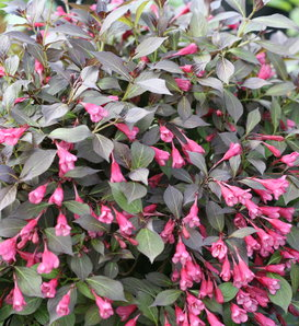 Midnight Wine Shine® - Weigela florida