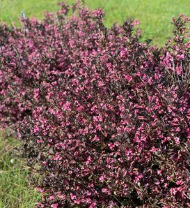 Very Fine Wine® - Weigela florida