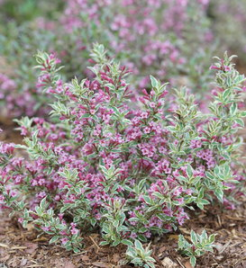 My Monet Purple Effect® - Weigela florida