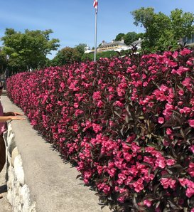Wine & Roses® - Weigela florida