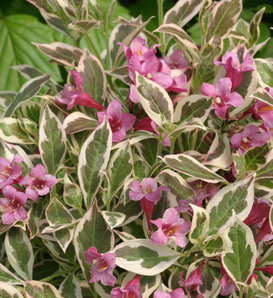 My Monet® - Weigela florida