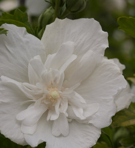 White Chiffon® - Rose of Sharon - Hibiscus syriacus