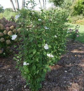 White Pillar® - Rose of Sharon - Hibiscus syriacus