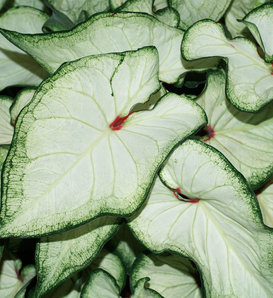 Heart to Heart™ 'White Wonder' - Sun or Shade Caladium - Caladium hortulanum
