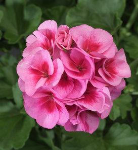 Americana® Rosa Mega Splash - Zonal Geranium - Pelargonium zonale