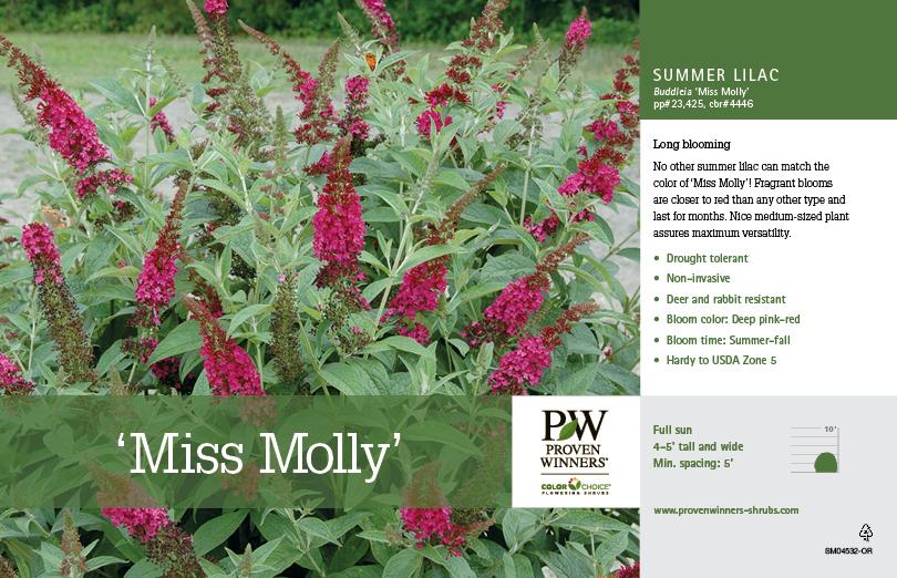 Buddleia Miss Molly Butterfly Bush Oregon 11x7