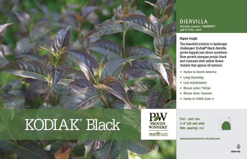 Diervilla Kodiak 174 Black Diervilla 11x7 Quot Variety