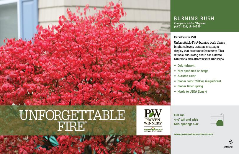 Euonymus Unforgettable Fire 174 Dwarf Burning Bush 11x7