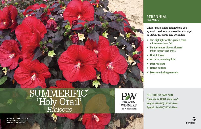 Hibiscus Summerific 174 Holy Grail Rose Mallow 11x7