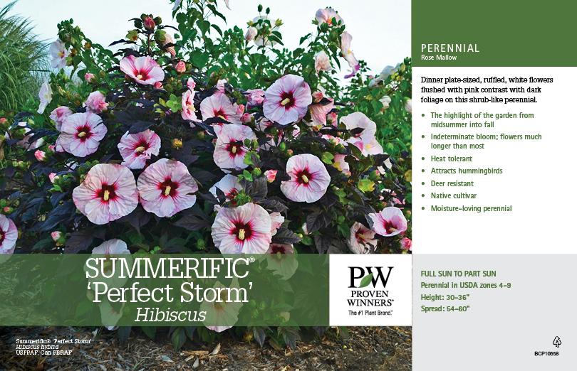Hibiscus Summerific Perfect Storm Rose Mallow 11x7 Variety