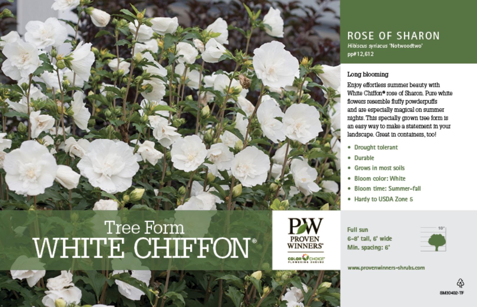 Hibiscus White Chiffon Tree Form Rose Of Sharon 11x7 Variety