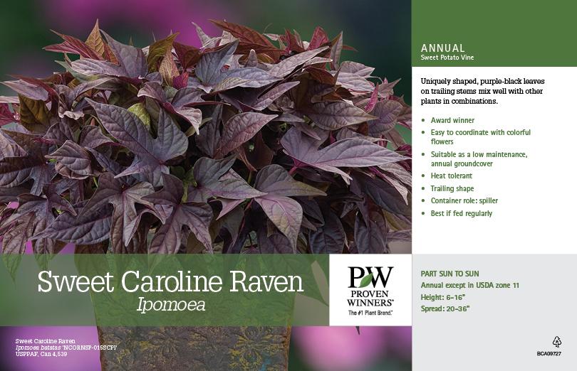 Ipomoea Sweet Caroline Raven Sweet Potato Vine 11x7