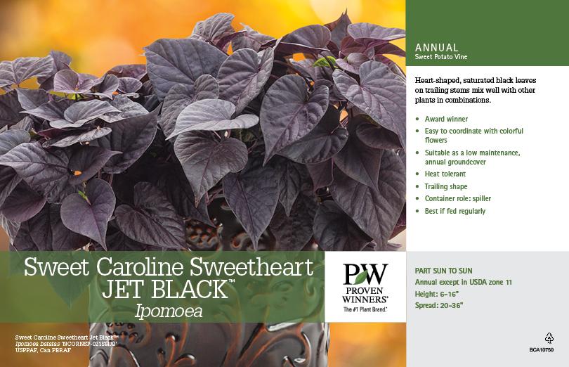 ipomea /'sweetheart purple' unusual jet black plant 9cm