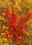 Berry Heavy Ilex (Winterberry)