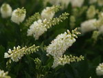 Sugartina 'Crystalina' Clethra (summersweet)